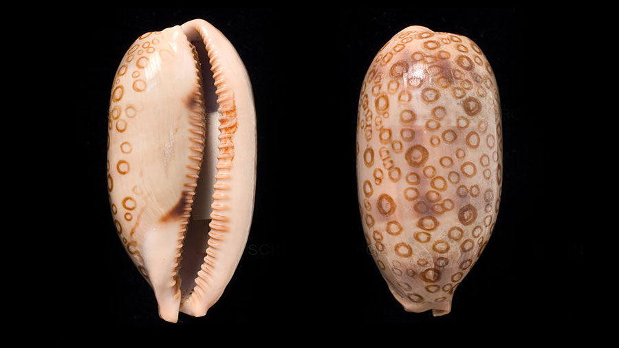 bottom and top view of a beautiful Hundred Eyed Cowrie Sea shell