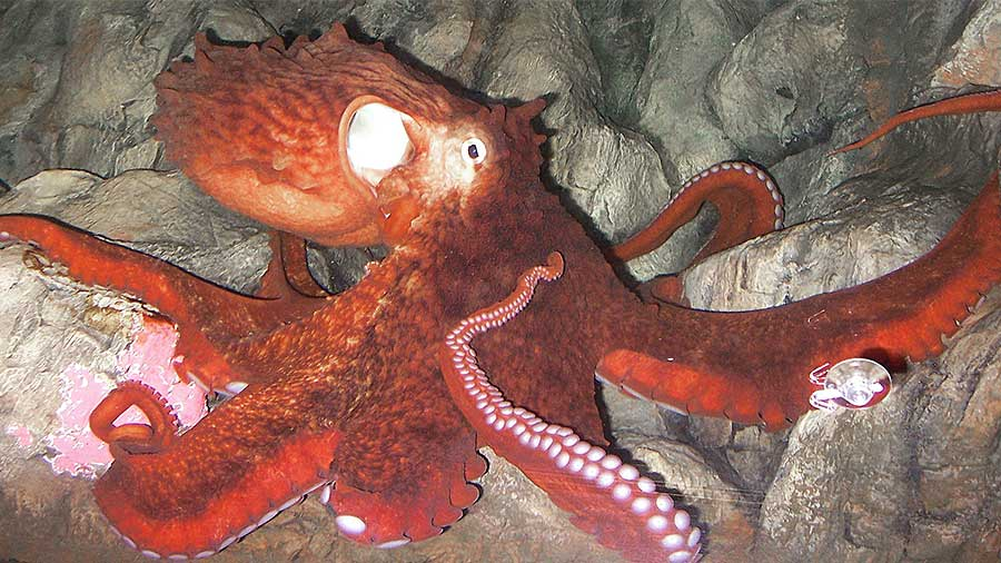 Pacific Giant Octopus in its den sitting on rocks