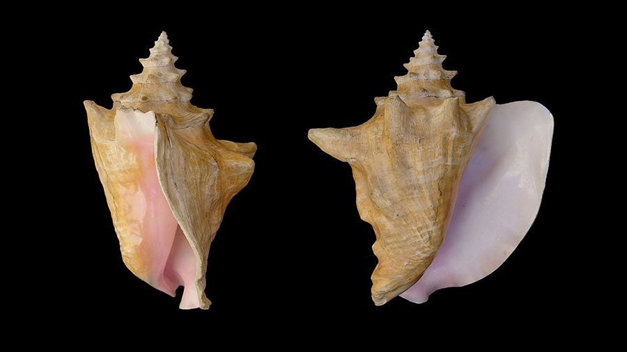 Queen Conch Shell multi view on black background
