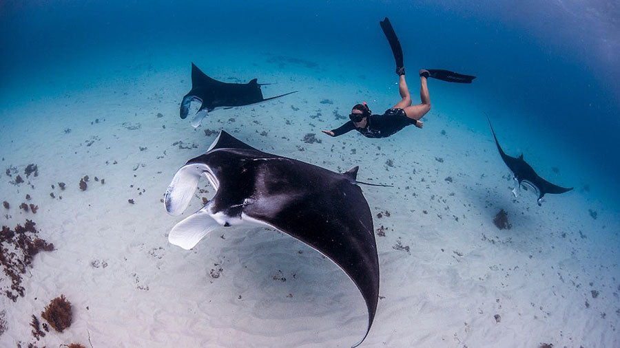 Reef Manta Rays and Women Freediver