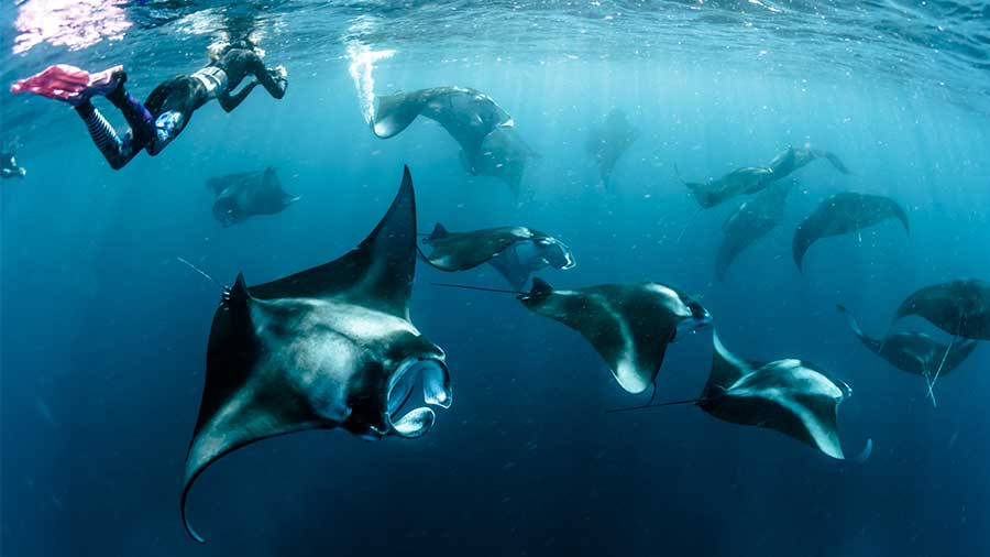 women snorkeling with a group of giant manta rays