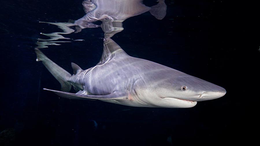 An adult Speartooth Shark swimming in dark freshwater