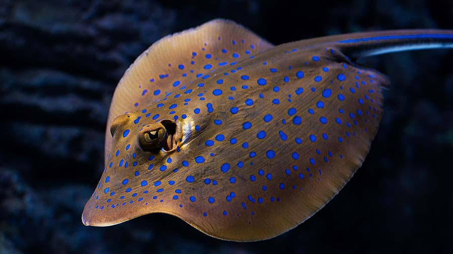 Side view of a Blue Spotted Stingray Close up