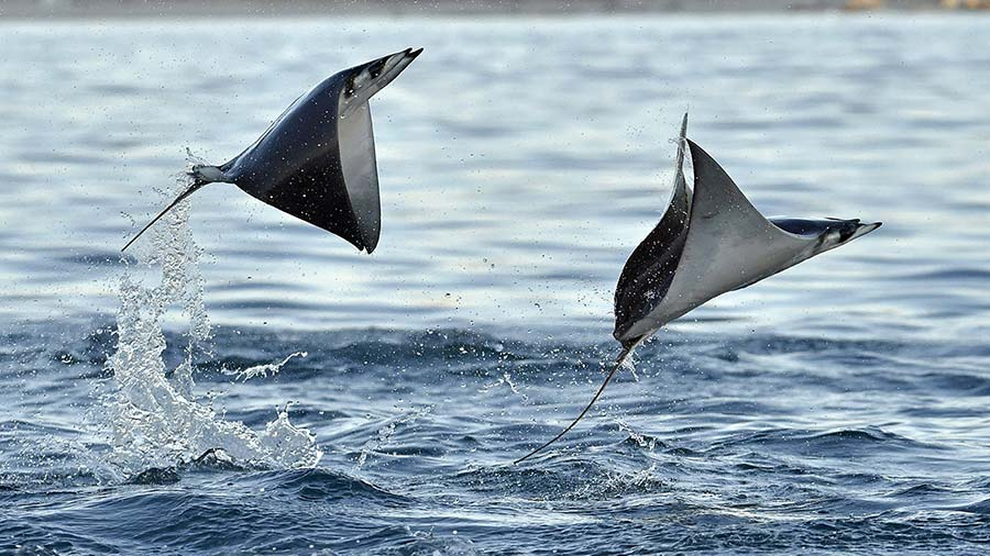 Pair of different types of Devil Ray