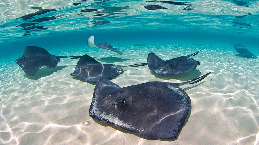 Group of Southern Stingrays in Shallow