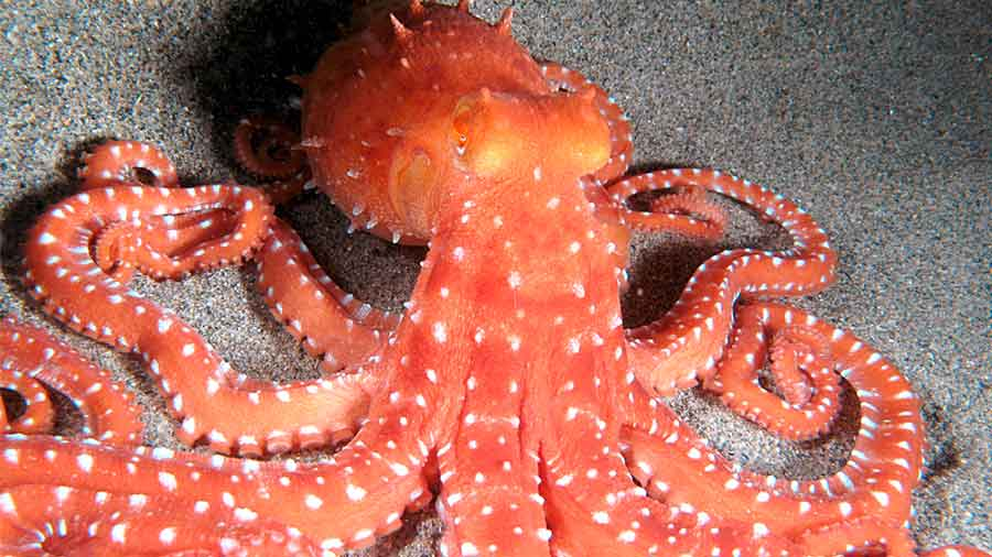 Large adult White Spotted Octopus Argo on sand