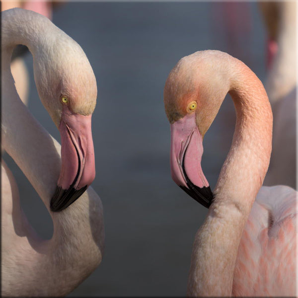 Couple de flamants roses en Camargue
