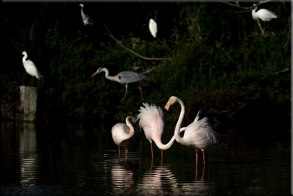 Flamants roses de Camargue. Photographie de Vincent Recordier