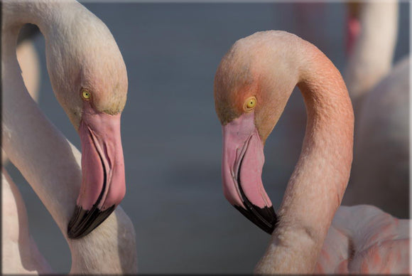 Couple de Flamants roses. Photographie de Vincent Recordier