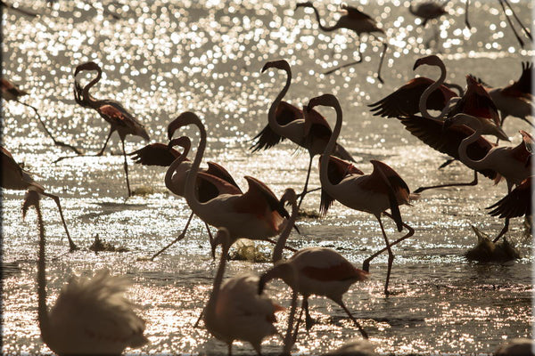 Flamants roses dans un étang. Photographie de Vincent Recordier