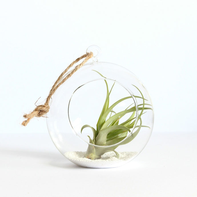 Hanging glass globe with airplant