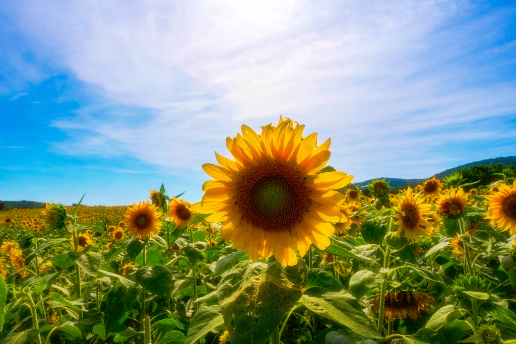 Sunflower Field | Wear the Wonder