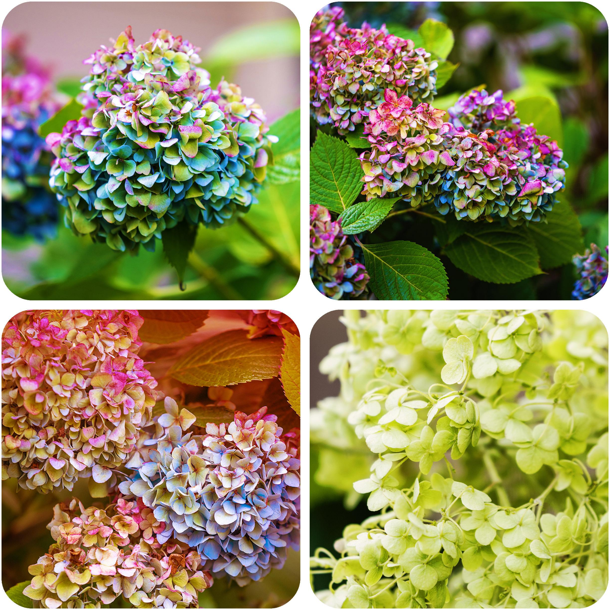 Heavenly Hydrangea Coasters