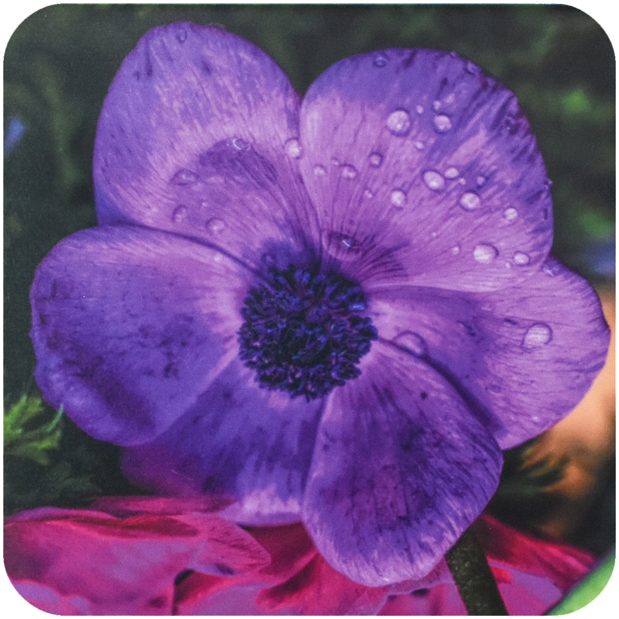 Purple Pansy Coaster - Wear the Wonder