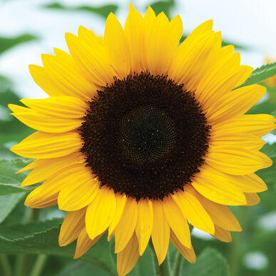 One Cut Sunflower (grown by our friend, Jose) - One Flower