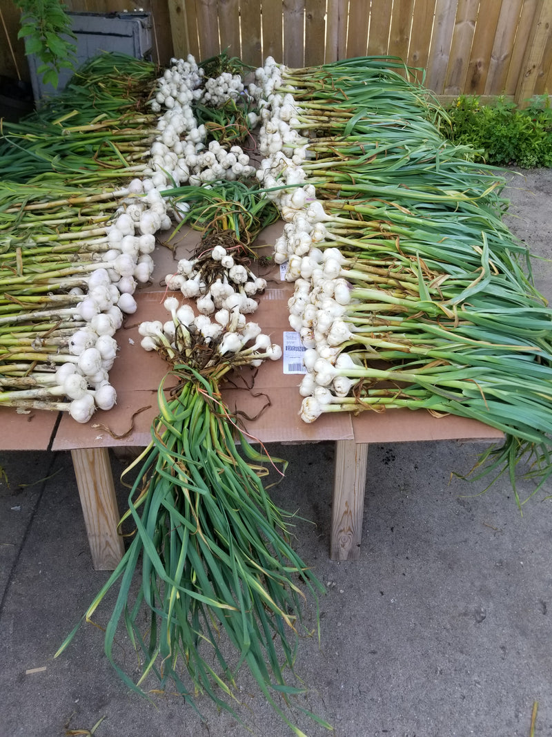 Locally Grown Garlic - 1 head