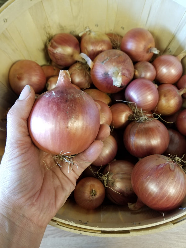 Storage Onions - grown by Bountiful Beloit - Available by the piece or in 10 lb bags