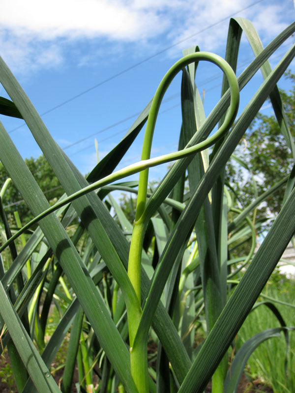 Garlic Scapes - buy in bulk for a discount