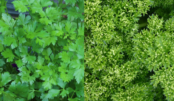 Parsley - 1 bunch - Choose Curly or Flat Leaf