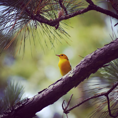 Bird of the Week: Prothonotary Warbler
