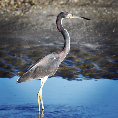 Bird of the Week: Tricolored Heron