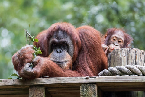 image of orangutans in a forest - source: ethical consumer magazine