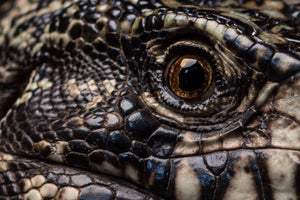 Black White Tegu