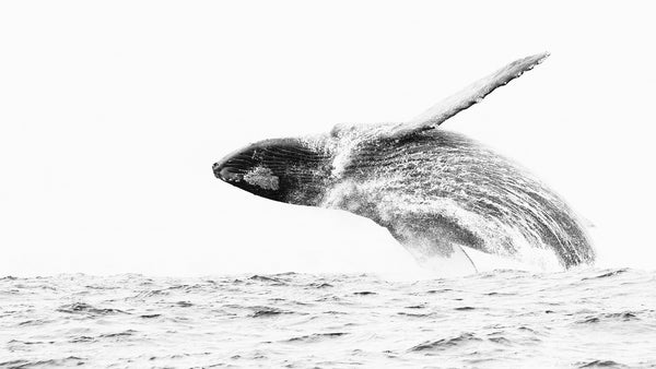 Windy Humpback Breach