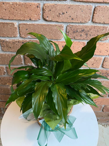 Spathiphyllum plant (Peace Lilly)