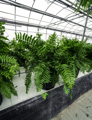 Macho Fern Floor Pot