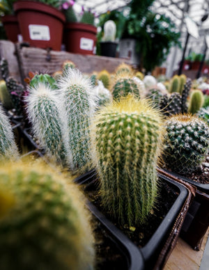 Assorted Cactus