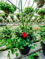 Red Dipladenia Spike & Vinca Vine Planter