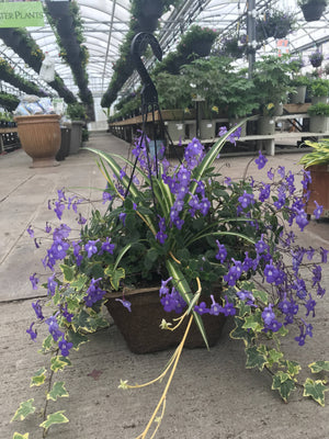 Blue Angel Mix Hanging Basket