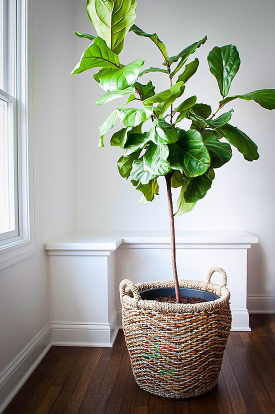 Fiddle Leaf Fig 3ft
