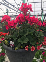 Hot Pink Geranium Hanging Basket