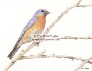 Bluebird by John Ward www.jwardstudio.com bird wildlife