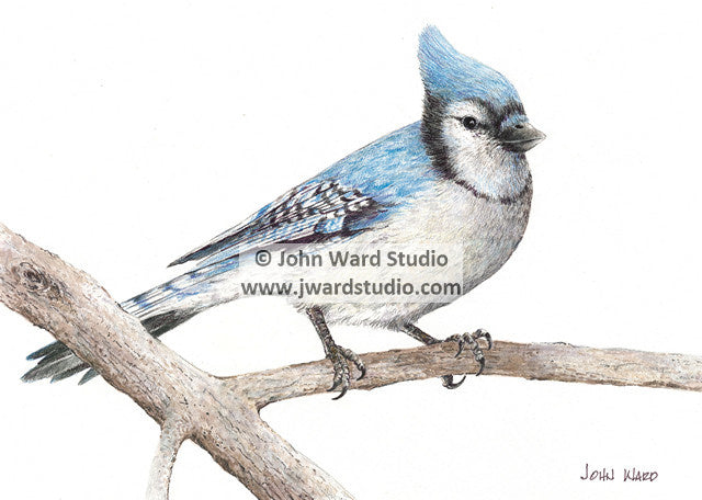 Blue Jay by John Ward www.jwardstudio.com bird wildlife