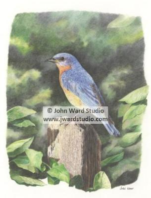 Bluebird on Post by John Ward www.jwardstudio.com bird wildlife