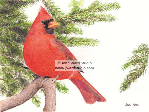 Cardinal by John Ward www.jwardstudio.com bird wildlife