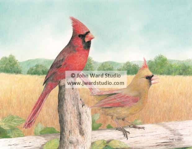 What a Pair female and male cardinals by John Ward www.jwardstudio.com bird wildlife