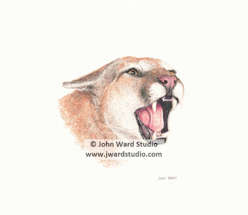 Cougar by John Ward www.jwardstudio.com cat wildlife