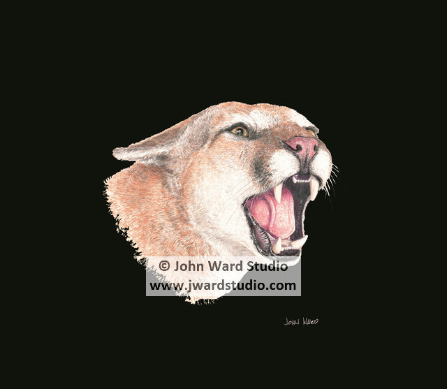 Cougar black background by John Ward www.jwardstudio.com wildlife