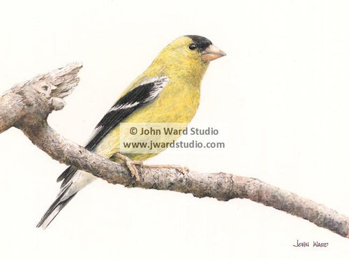 Goldfinch by John Ward www.jwardstudio.com bird wildlife