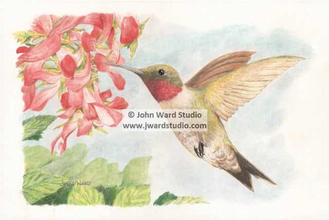 Hummingbird by John Ward www.jwardstudio.com bird wildlife flower ruby throat hummingbird