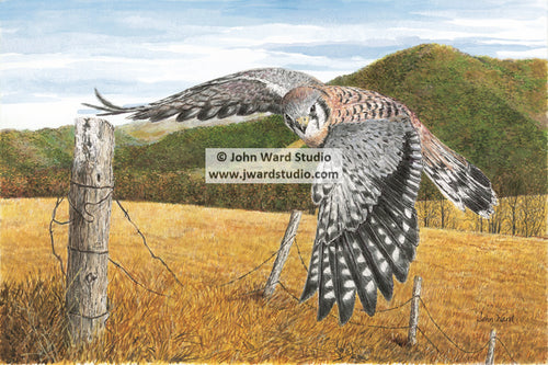 Kestrel Falcon by Kentucky Artist John Ward