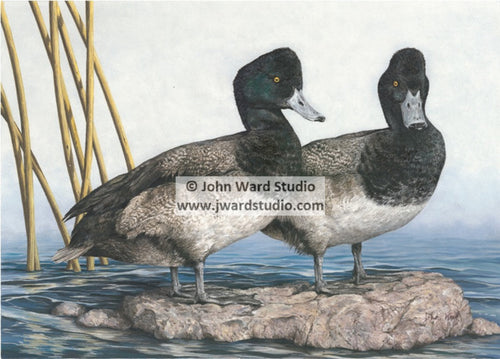 Lesser Scaup by John Ward www.jwardstudio.com duck bird bluebill broadbill