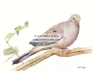 Mourning Dove by John Ward www.jwardstudio.com bird American mourning dove rain dove