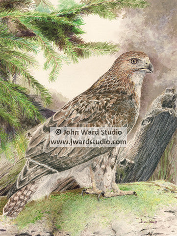 Red Tail Hawk by John Ward www.jwardstudio.com bird wildlife