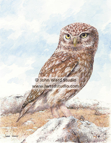 Screech Owl by John Ward www.jwardstudio.com bird wildlife