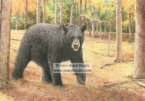 Strolling by John Ward black bear www.jwardstuio.com wildlife black bear